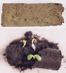 納豆樹脂を使った発芽実験の様子。(写真上)栄養分を含むヘドロや、牧草の種と一緒に納豆樹脂を混ぜると(写真下)4日後に発芽した。温帯乾燥地を想定した条件下では、80%の発芽率が確認されている