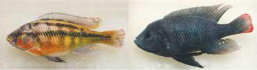 現在、アフリカビクトリア湖で生物進化の研究をされている。その湖に生息している体表の色彩が全く異なる、2種類のシクリッド。共に水深50cm程度の岩場で採取。(左)黒い縦じまがとてもきれいなParalabidochromis