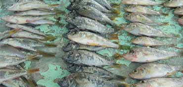 トロール漁にて採取した一部。湖には多種多様のシクリッドが存在している。〈写真:岡田典弘氏撮影〉