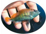 トロピカルな色が眩しいシクリッド。Haplochromis(Pundamilia)nyerereiオス。釣れた直後は特に色彩が大変美しい〈写真:岡田典弘氏撮影〉