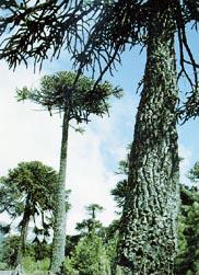 チリ、ロンキマイ峠に自生するナンヨウスギ。恐竜が生きていたころからあるといわれ、『生きている化石』とも呼ばれている。
