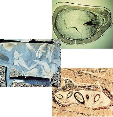 北海道で見つかった1億4千万年くらい前の化石、通称『ナス』の横断面。裸子植物の種子ということまで分っているが、どんな植物のものなのか明らかになっていない<br>オーストラリアで発掘した2億5千万年前の裸子植物『グロッソプテリス』の葉の化石(上)と、雌性生殖器官の横断面(右)。