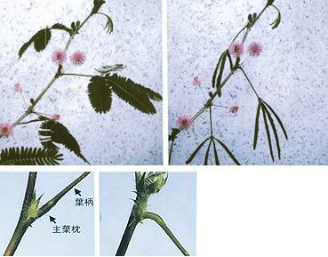 オジギソウは、葉に何かが触れたり、振動を与えたりすると、葉を閉じて葉の柄が「おじぎ」をするように垂れ下がる(上左:おじぎ運動前・上右:おじぎ運動後、左:運動器官の拡大写真)