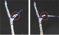 MRIで撮影した、オジギソウの水の動き。おじぎ運動前にあった主葉枕の下部の水が、おじぎ運動後には消えている