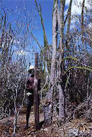 マダガスカルの異端植物「アルオウディア・プケラ」。柱サボテンのようだが、幹や枝から直接に葉が出て、内部は、中心は材木がとれるが、周りは柔らかく水分をたっぷり含み、乾燥に強い(写真提供:湯浅浩史氏)