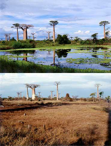 マダガスカルの環境変動。定点観察で地球の乾燥化が歴然。バオバブのそばの池が干上がった(写真提供:湯浅浩史氏)