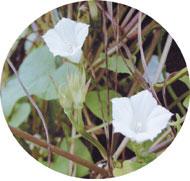 マメアサガオ。ヒルガオ科の1年草。淺井氏命名第1号の帰化植物。夏から秋にかけて、直径2センチメートルほどの白い花を咲かせる(写真提供:淺井康宏氏)