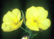 オオマツヨイグサ。北アメリカ原産の植物をもとにヨーロッパで作られた2年生の園芸植物。明治初期に日本に輸入され、現在では全国の河原や海岸砂地に広く生育している(写真提供:淺井康宏氏)