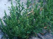 オニハマダイコン。アブラナ科の1年草で、7−8月に花を咲かせる。昭和50年代に新潟県の海岸で発見された。原産は北アメリカ(写真提供:淺井康宏氏)