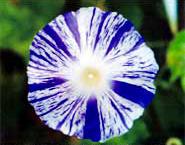 アサガオの時雨絞り(雀斑)とマルバアサガオの条斑点絞りを持つ系統を交配して出来た花模様〈写真提供:米田芳秋氏〉
