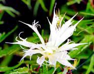 「白采咲牡丹」。牡丹咲は八重咲の一種で、雄しべも雌しべも花弁状になるという複雑な形をみせる〈写真提供:米田芳秋氏〉