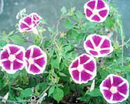 米田氏が作り出した「曜白アサガオ『架橋』」。覆輪と呼ばれる白い縁が花弁の中央部(曜)まで伸び、鮮やかな花模様を浮かべている。花持ちがよく、朝顔市でも人気の品種〈写真提供:米田芳秋氏〉