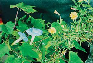 2001年に米田氏が発見した「午後開花アサガオ」(左)。宵の頃・夜中に見頃を迎える新種のアサガオで、午後5時頃開花するコマツヨイグサ(右)と仲良く花を咲かせている〈写真提供:米田芳秋氏〉