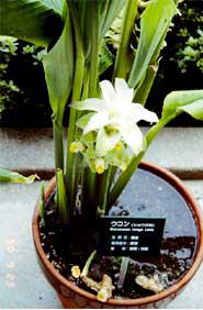 美しい花を咲かせるウコン(ターメリック)はショウガ科に属し、健康食品として注目されている。抗酸化や浄化作用があり、血液をきれいにする。沖縄では昔からウコンを日常的に利用している<写真提供:中谷延二氏>