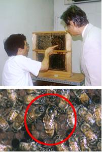 ミツバチの巣の内部を観察するための巣箱(上)赤丸で囲んだ蜂が女王蜂。ほかの蜂に比べて体が大きい(下)
