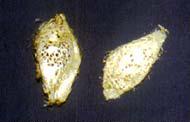 インドネシアでこれまで害虫として駆除されてきたガ「クリキュラ」の繭。黄金色をしており、今ではそのシルクを活用しようと国を挙げて取り組んでいる
