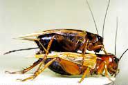 コオロギの交尾の様子。上に乗った雄が玉状の精子包を雌に渡す。その後、20−30分かけて精子が雌の体内に取り込まれるが、その間、雌は他の雄が近づくと、受取した精子包を食しようとする。そのためか、交尾後に雄の攻撃性はピークになり、他の雄を近付けない(写真提供:長尾隆司氏)