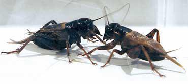 コオロギの雄同士は出会うと闘争行為を行なう。通常はどちらか一方が逃げたりすると勝敗がついたものとして止むが、隔離飼育されたコオロギは相手を殺すまで攻撃を続けることが多い。一方、集団飼育されたコオロギはあたかも協調性を身に付けたかのように、闘争行為すら避ける場合も(写真提供:長尾隆司氏)