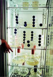 同氏研究室で培養している渦鞭毛藻。活字が見えるほど明るく光るという〈写真提供:近江谷克裕氏〉