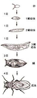 ショウジョウバエは生後わずか10日で成体になる。