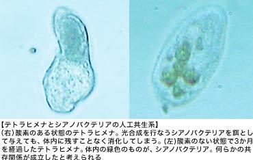【テトラヒメナとシアノバクテリアの人工共生系】(右)酵素のある状態のテトラヒメナ。光合成を行なうシアノバクテリアを餌として与えても、体内に残すことなく消化してしまう。(左)酵素のない状態で3か月を経過したテトラヒメナ。体内の緑色のものが、シアノバクテリア。何らかの共存関係が成立したと考えられる