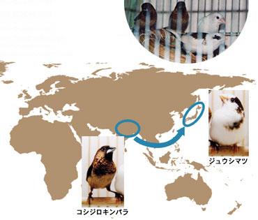ジュウシマツの原種は南アジアに生息するコシジロキンパラ。約250年前に日本に輸入された後、白地にぶちの変異があらわれた。上はキンカチョウ(左2羽)を育てているジュウシマツ(右2羽)