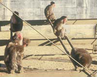サルにも記憶力のいいサル、悪いサルがいる(愛知県犬山市の京都大学霊長類研究所で)