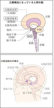 人間の脳は、「大脳新皮質」「大脳辺縁系」「脳幹」の3層に分かれている。「大脳新皮質」は、五感や運動、言語など、大脳辺縁系」は人間の感情と深い関わりを持つ。「脳幹」は、呼吸や体温、心拍調整など、生命の基本的な機能をつかさどっている。<資料提供:大島 清氏><br>「大脳辺縁系」は、記憶の貯蔵庫「海馬」や、好き・嫌いを判断する「扁桃核」、食欲、睡眠浴など本能の座「視床下部」、やる気を起こさせる「側座核」等でできている<資料提供:大島 清氏>
