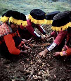 マルカパタ村のジャガイモの収穫。イモが小さく形も不揃いな在来品種を栽培<写真提供:山本紀夫氏>