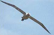 空を飛ぶアホウドリ(英名アルバトロス)。細長い翼を広げると2.4mにも達する北半球最大の海鳥である。北大平洋の大海原を住処とし、秋になると繁殖のためにのみ、伊豆諸島鳥島と尖閣諸島南小島に戻る。ひなの巣立ちは毎年5月後半。