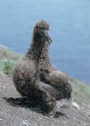 アホウドリのひな(1992年4月、鳥島にて撮影)