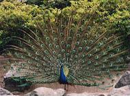 雄のみが持つクジャクの美しい羽。雌がより美しい羽を持つ雄を選んできたため、このように発達したと考えられる。(写真・提供:長谷川寿一氏)