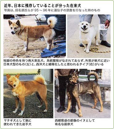 写真は、田名部氏らが95−96年に遺伝子の調査を行なった時のもの。短脚の特色を持つ南大東島犬。系統繁殖がなされておらず、外見が柴犬に近い日本犬型のもの(左)と、西洋犬と雑種化したと思われるタイプ(右)がいる。マタギ犬として猟に使われてきた岩手犬。西郷隆盛の銅像のイヌとして有名な薩摩犬。
