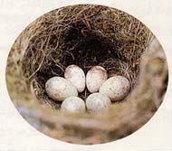 小さめの茶色の卵がカッコウの卵(千曲川にて、オナガに托卵)