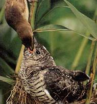 カッコウの雛にエサをやるオオヨシキリ