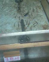 北里大学水産学部(岩手県三陸町)で増殖されているサケの稚魚。