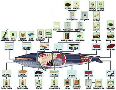 鯨の利用図。日本では鯨体の完全利用が行なわれていた。鯨は肉や脂、皮から内蔵に至るまで、すべての部分が利用できる。用途も、薬品や工業用品にまで及ぶ。食品としても栄養価が高く、高タンパク、低脂肪で、非常にヘルシーな食品といえる<イラスト提供:(財)日本鯨類研究所>