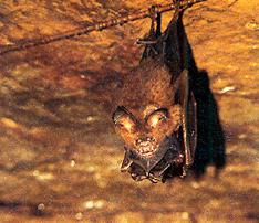 カグラコウモリの母子。この種では洞くつ内では塊にならず、点在するのが特徴〈写真提供:松村澄子氏〉