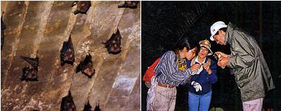 (左)繁殖洞くつ内で子どもを抱えぶら下がるカグラコウモリ。個別の採餌場を持つことが判明している。<br>(右)暗闇の中、フィールドワークを行なう松村氏。西表島にて〈写真提供:松村澄子氏〉