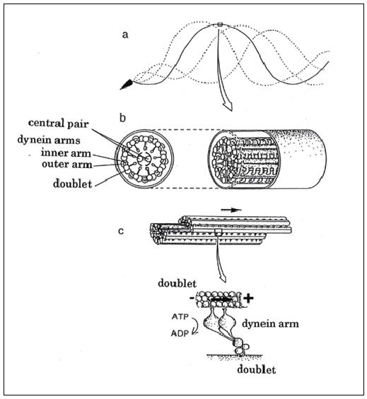 (上)ウニ精子べん毛(a)と「9+2構造」(b)、および複合微小管の間に動きを起こすダイニン(c)の模式図〈資料提供:真行寺千佳子氏〉<br>(下)真行寺氏が独自に開発した実験のイメージ図。ダイニン1個(1分子)が、微小管を滑らせるときに出す力の測定に、世界で初めて成功した(1998年)。イラストは、真行寺氏自らが描いたもの。ダイニン分子が並んだ微小管に、ビーズをつけた微小管を作用させて、ビーズの移動距離からダイニン1分子の出す力を求める〈資料提供:真行寺千佳子氏〉