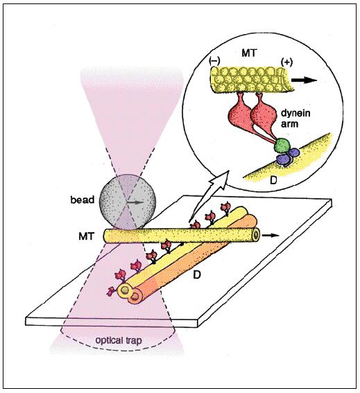 (下)真行寺氏が独自に開発した実験のイメージ図。ダイニン1個(1分子)が、微小管を滑らせるときに出す力の測定に、世界で初めて成功した(1998 年)。イラストは、真行寺氏自らが描いたもの。ダイニン分子が並んだ微小管に、ビーズをつけた微小管を作用させて、ビーズの移動距離からダイニン1分子の出す力を求める〈資料提供:真行寺千佳子氏〉
