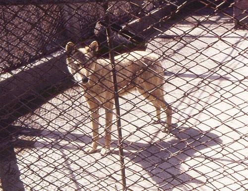 中国・ハルビン動物園のオオカミ。黒龍江省産で小型(ニホンオオカミと同種)<写真提供:丸山直樹氏>