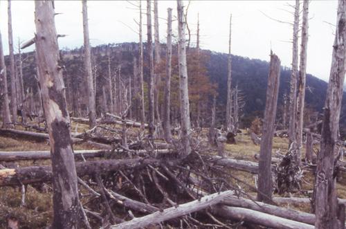 シカの食害で枯死し続ける奈良県上北山村・大台ヶ原のトウヒ原生林