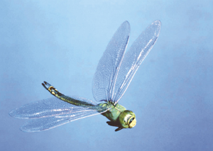 飛翔するギンヤンマ。人間にとって空気は割合にさらっとしていているが、人間よりはるかに体の小さい昆虫にとっては、空気は蜂蜜のように粘っこい。そのような粘っこい空気の中では翅の形は流線形であるより、ギザギザしているほうが大きい空気が得られて飛びやすい〈写真撮影:栗林 慧氏〉
