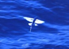 トビウオの飛翔。翼は英国の戦闘機「スピットファイア」と同様、楕円形を翼端に向かって前進させた形をしている。また、速度が落ちても、少しずつ体を起こし迎え角をつけることで、揚力と重量が釣り合うようにしている〈写真撮影:岩合光昭氏〉