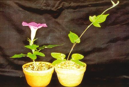 植物は夜の長さを計って季節を先取りし、タイミングをみて花を咲かせている。写真は、アサガオの葉に一定時間の暗闇を与えたもの(左)と与えていないもの(右)〈写真提供:田中修氏〉