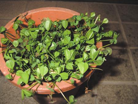 オジギソウやカタバミ、クローバーなどの植物は、葉っぱを朝に開き夜に閉じる性質をもっている。これは、葉っぱは開いた状態だと蒸散によって水を失うため、光合成のために必要な太陽の光がない夜には、閉じて蒸散を防いでいる、といったさまざまな説がある。写真は開いているクローバー(左)と閉じているクローバー(右)〈写真提供:田中修氏〉