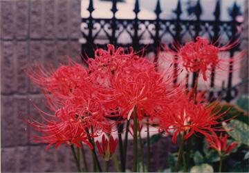 ヒガンバナは有名な有毒植物の一つ。秋の彼岸の頃になると、花茎だけを地面から伸ばして深紅の花をつける