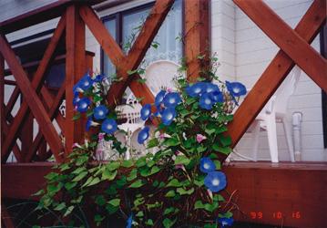 アサガオは薬用植物として日本に入ってきた。種子を下剤として使用していたが、作用が強すぎるため現在は使用されていない<写真提供:船山信次氏>