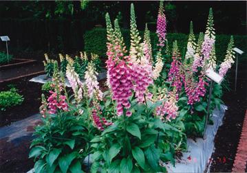 ジキタリスをはじめ、園芸植物には有毒なものが多い。なお、ジギタリスの葉には、心臓毒成分が含まれている